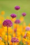 Allium viola con i fiori gialli Fotografie Stock