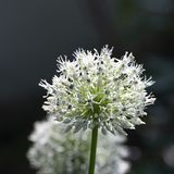 Allium, white allium ball, sunlight, macro Royalty Free Stock Images