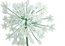 Allium on white Stock Photos