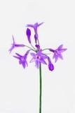 Allium zakończenie Zdjęcie Royalty Free