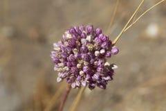 Alliumampeloprasum stock afbeeldingen