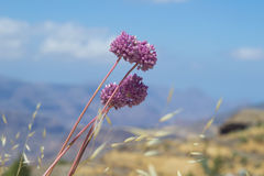 Alliumampeloprasum stock foto