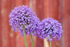 Alliumbloem royalty-vrije stock fotografie