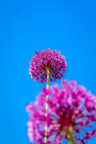 Alliumbloem die met Blauwe Hemelachtergrond bloeien royalty-vrije stock afbeelding