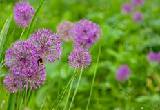 Alliumbloemen Royalty-vrije Stock Afbeelding