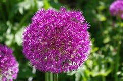 Alliumblomma arkivfoton