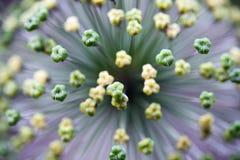 Alliumblomma Royaltyfri Foto