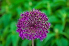 Alliumblomma i tr?dg?rden arkivfoto