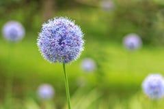 Alliumcaeruleum royaltyfri bild