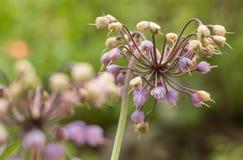 Alliumcernuum Arkivfoto