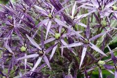 alliumchristophii Royaltyfria Foton