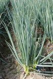 Alliumfistulosum Arkivbilder