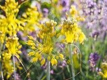 Alliumflavum Bakgrund av flavumen för Allium för blomningväxt Dekorativa växter för att landskap arbeta i trädgården och parkerar Royaltyfri Fotografi
