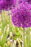alliumgiganteum Royaltyfria Foton