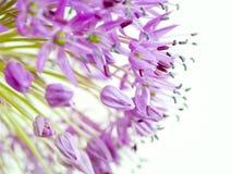 alliumgiganteum Royaltyfria Bilder