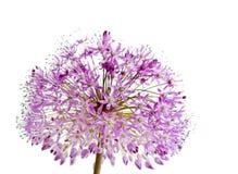 alliumgiganteum Arkivfoto