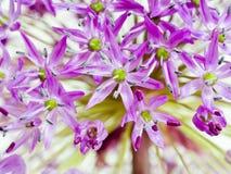 alliumgiganteum Royaltyfri Foto