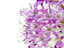 alliumgiganteum Royaltyfri Fotografi