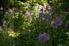 Alliumgiganteum onder het onkruid in backlight stock afbeelding