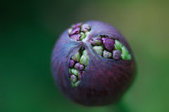 Alliumknop ongeveer om te barsten Royalty-vrije Stock Afbeeldingen