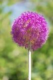 Alliumkula Arkivbilder