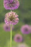 Alliumkulor Royaltyfria Foton