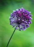 Alliumrotundum royaltyfri bild