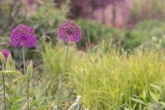 Alliums Στοκ φωτογραφία με δικαίωμα ελεύθερης χρήσης