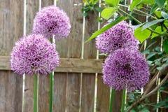Alliums στοκ εικόνες