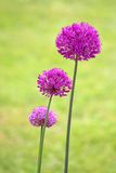 Alliums Stock Images
