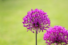 Alliums Royalty Free Stock Photo