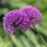 Alliums and bee Stock Photo