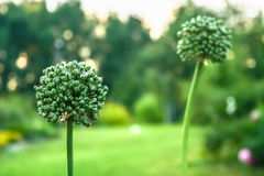 Alliums at dawn in the garden, close up Royalty Free Stock Photos