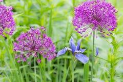 Alliums e iris Imagen de archivo