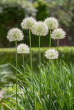 Alliums Royalty Free Stock Photography