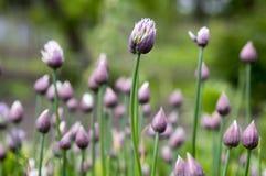 Alliumschoenoprasum, vitlökgräslökar, kinesiska gräslökar i blom Arkivfoton