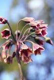 Alliumsiculum, die ook als Siciliaanse honingslelie wordt bekend Royalty-vrije Stock Foto