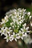 alliumtuberosum royaltyfri bild