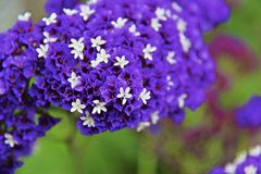 Alliumunifolium royaltyfri foto