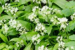 Alliumursinum Arkivbild