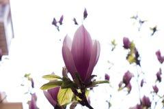Allmän purpurfärgad magnolia för fackla Royaltyfri Fotografi