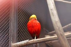 Allo zoo L'immagine del fagiano dorato si siede sulla pertica Fotografia Stock Libera da Diritti