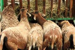 Allo zoo Punto di vista posteriore degli agnelli che mangiano fieno Fotografia Stock