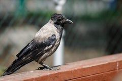 Allocation des places de Raven sur la barrière Photos stock