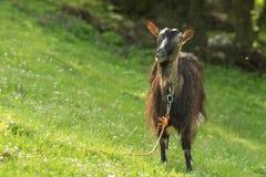 Allocchi della capra Fotografie Stock Libere da Diritti