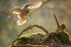 Allocco di atterraggio con le ali stese Immagini Stock