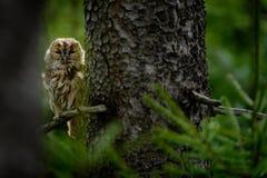 Allocco nascosto nel gufo di Brown della foresta che si siede sul ceppo di albero nell'habitat scuro della foresta con il fermo B Fotografia Stock Libera da Diritti