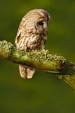 Allocco nell'allocco dell'uccello di Brown della foresta che si siede sul ceppo di albero nell'habitat scuro della foresta Bello  Immagini Stock