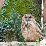 Allocco selvaggio maestoso che si siede sull'albero Fotografia Stock Libera da Diritti
