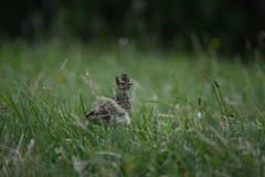 Allodola che cammina nell'erba Immagini Stock